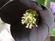 Hellébore noire